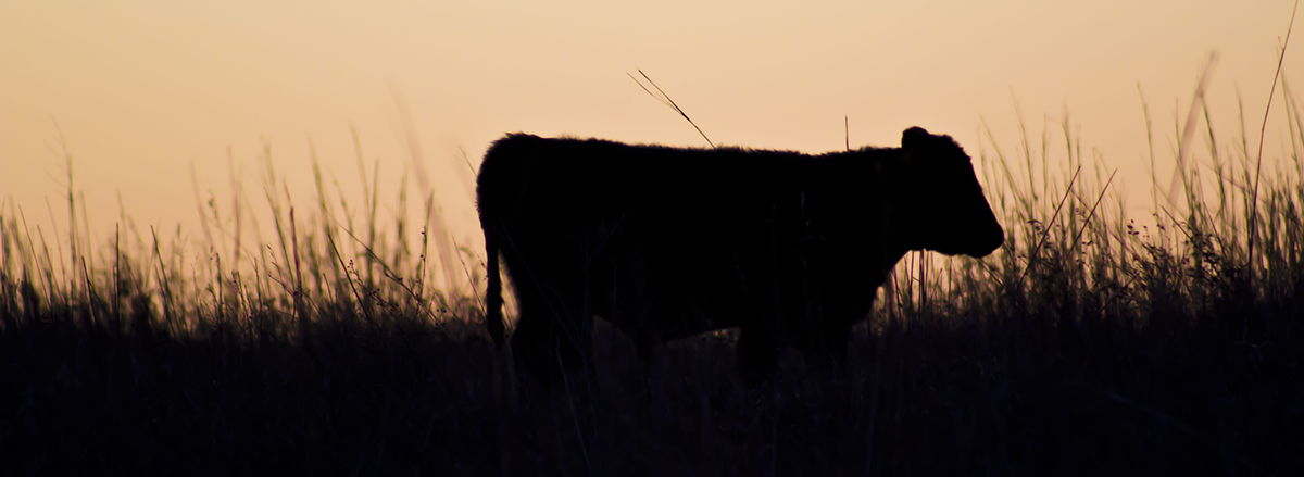 cattle in field at dusk